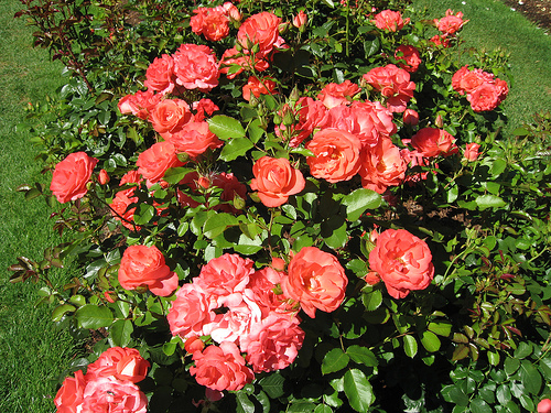 heirloom rose bush