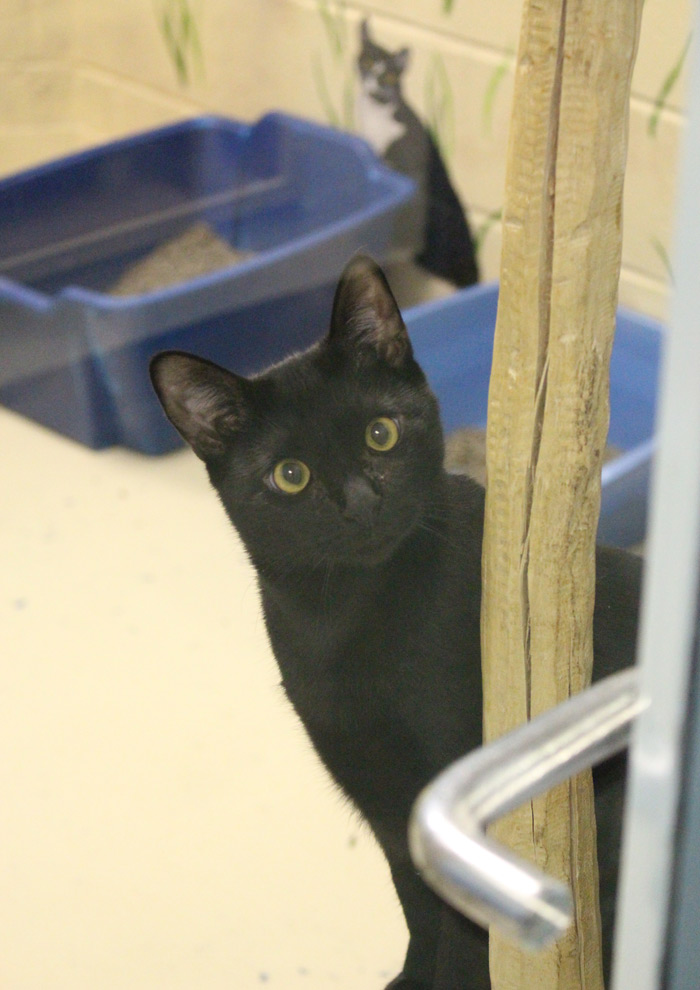 This curious cat is available for adoption at SASF