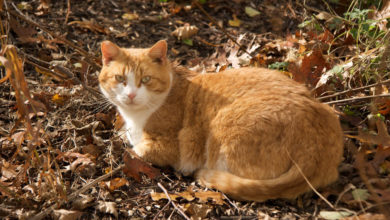 A feral cat that that has been neutered previously by ARF's Operation Cat Program.