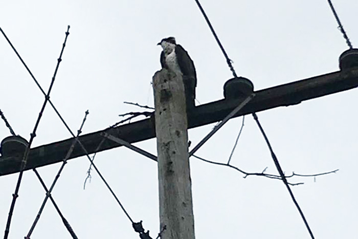 Osprey looks to rebuild its nest