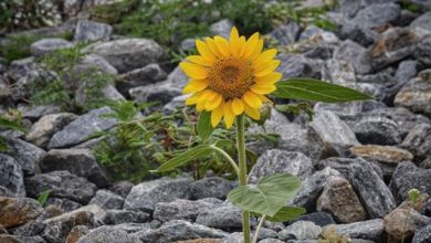 A sunflower grows in an unlikely spot on Sag Harbor.