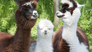 Alpacas in need of a trim, Photo: DieterHawlan/123RF