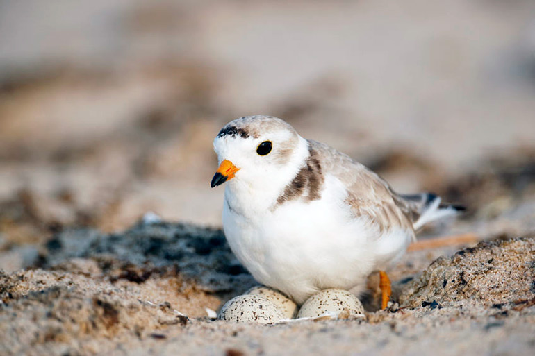 Piping plover nesting on eggs