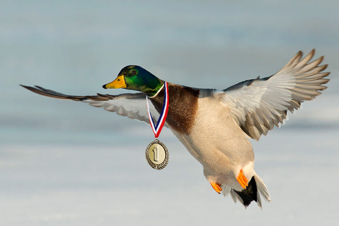 Duck with medal