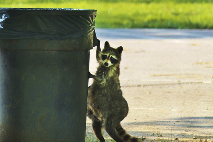 Hungry? Get used to it, Tubby raccoons