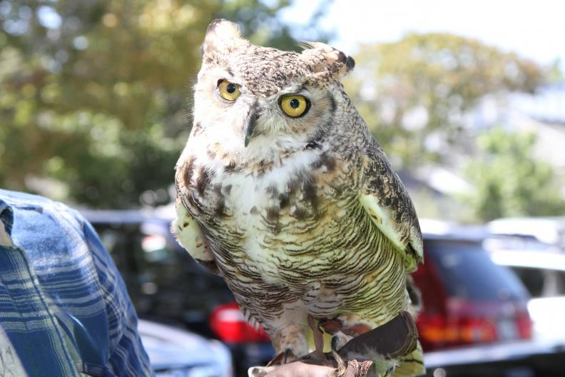 This great horned owl, Hooter, can be visited at the Quogue Wildlife Refuge