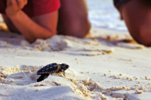 Baby Turtle Hatchling