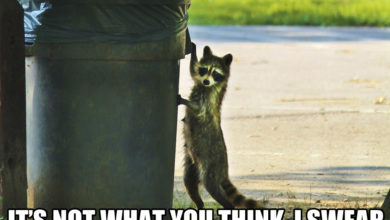 Raccoon Thief garbage