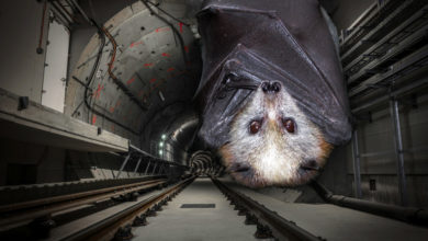 Bats are nesting in the Hamptons Subway's Noyac tunnel,
