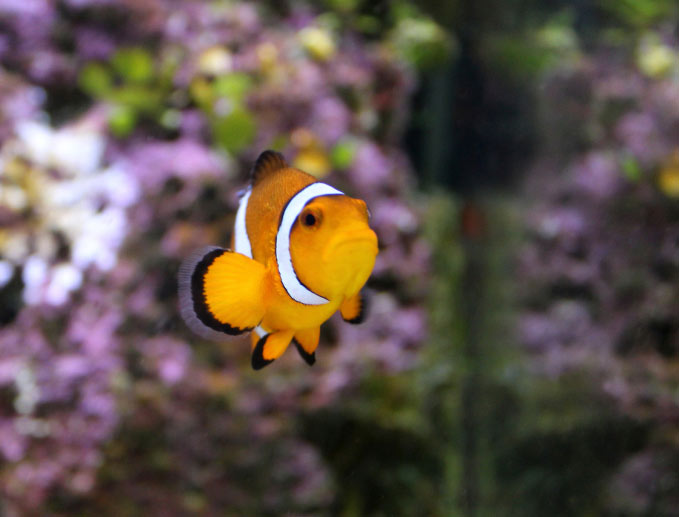 FInding Nemo is the tale of rescuing a list clown fish.