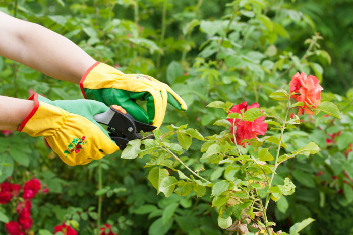 Check out these tips for pruning your rose garden