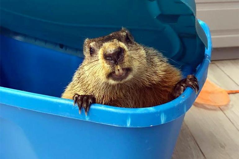Evelyn Alexander Wildlife Rescue Center groundhog