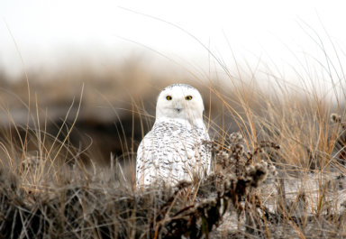 A wintering snowy owl on the East End