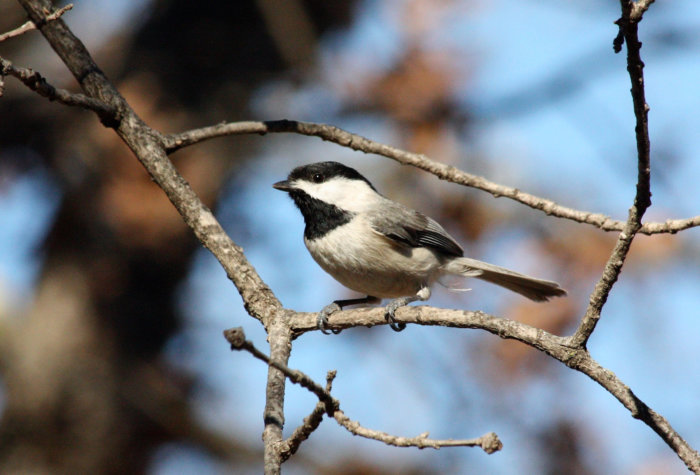 A black-capped chickadee at the Elizabeth Morton National Wildlife Refuge.