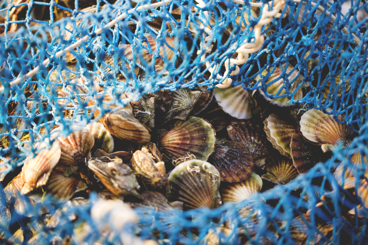 Peconic Bay is known for its fresh scallops.
